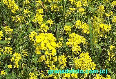 Jaramago -  Wild mustard